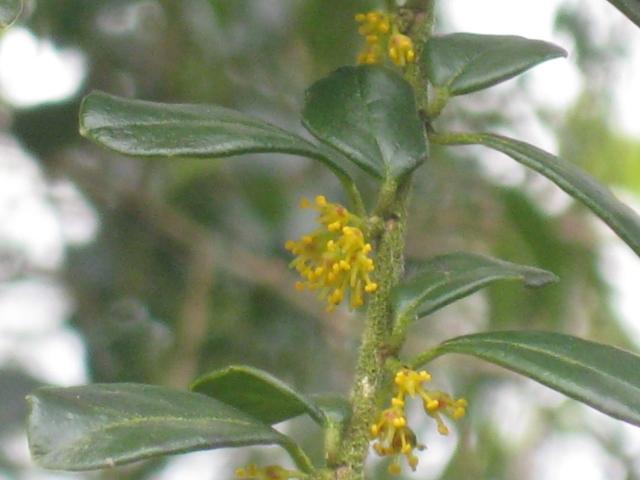 Aazara microphylla