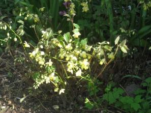Epimedium perralchicum