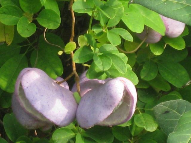 Akebia fruit.