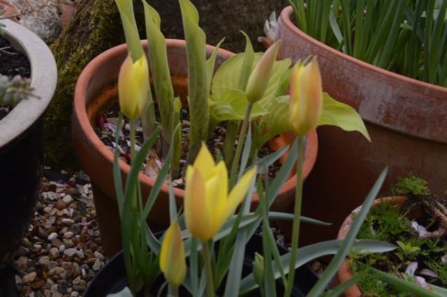 Tulip 'Honky Tonk'