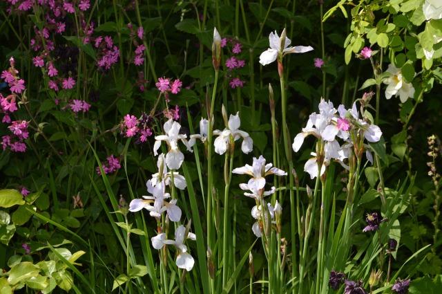 Iris sibirica 'Osborne's Grey'