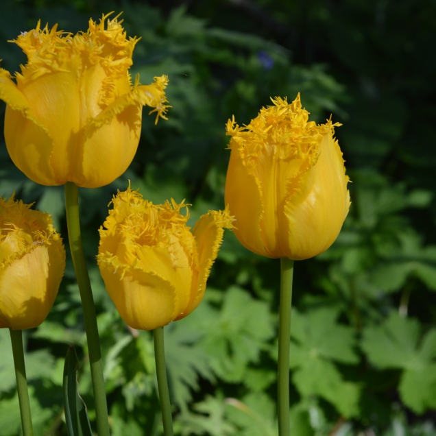 Tulip 'Hamilton'