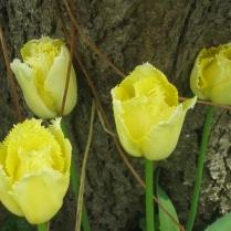 Tulip 'Maja'