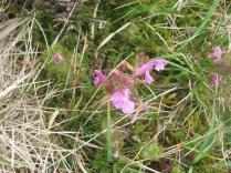 pedicularis sylvatica Lousewort