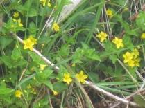 Lysimachia nemorum Yellow Pimpernel