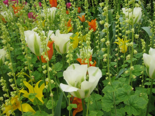 Tulipa viridiflora 'Springwood Green'  Tulips'Ballerina' and  the yellow 'West pont'