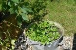 Watercress in an old bucket