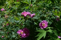 Rosa californica 'Plena'