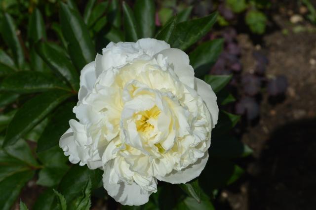 Paonia lactiflora 'Duchesse de Nemours'
