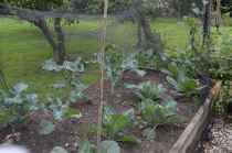 Cabbages and sprouting broccoli
