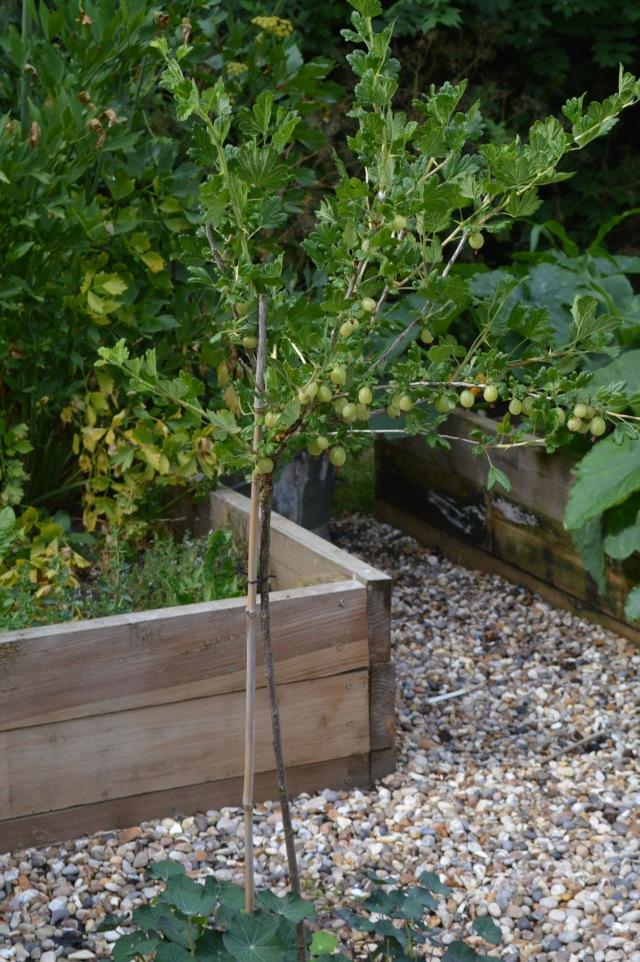 Standard Gooseberry bush
