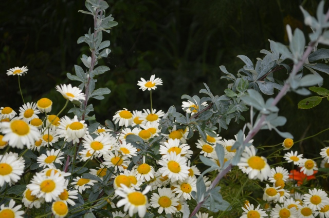 Anthemis tinctoria 'Sauce Hollandaise' with Berberis temolaica