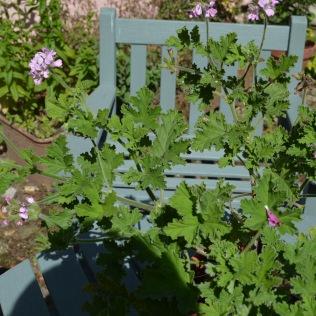 Pelargonium 'Attar of Roses'