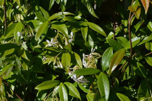 Rrachelospermum jasmioides