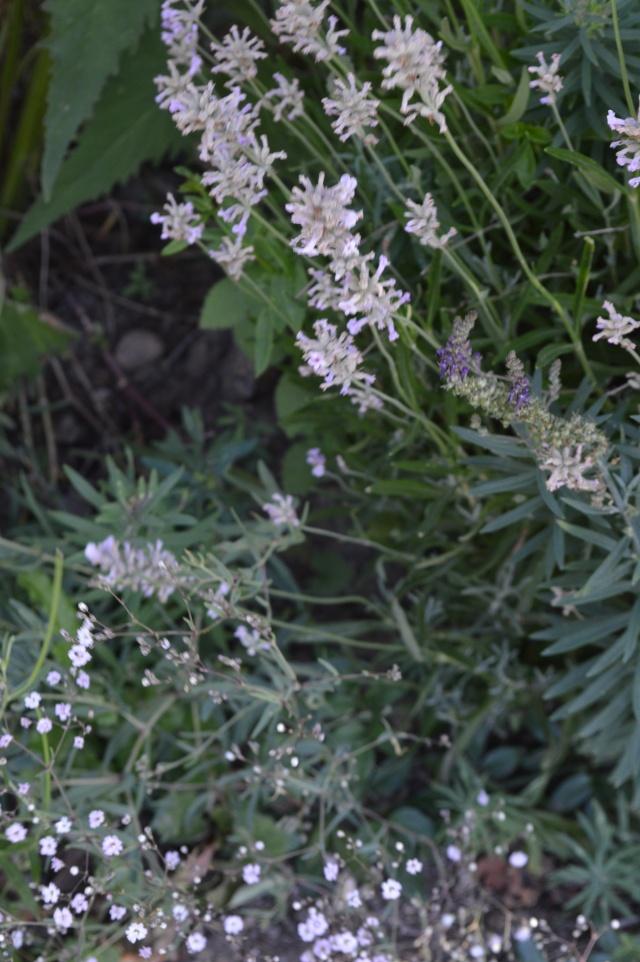 Lavendula angustifolia 'loddon Pink'