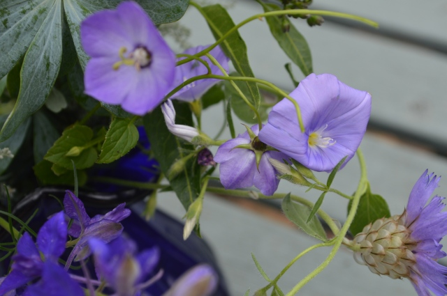Campanula carpatica and Convolvulus sabatius