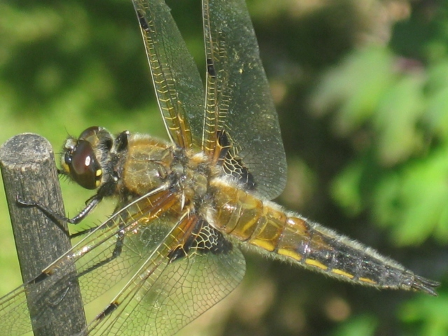 Four-Spotted Chaser,Libellula quadrimaculata
