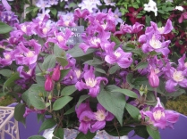 Taylor's . A lovely herbaceous Clematis.