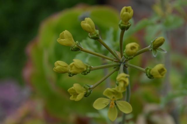 Gouty Geranium