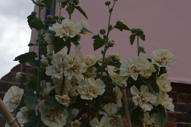 Alcalthaea suffrutescens 'Park Allee'
