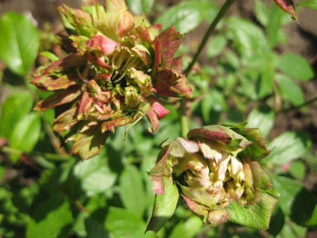 Rosa viridiflora.