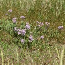 Sea LavenderLimonium vulgare