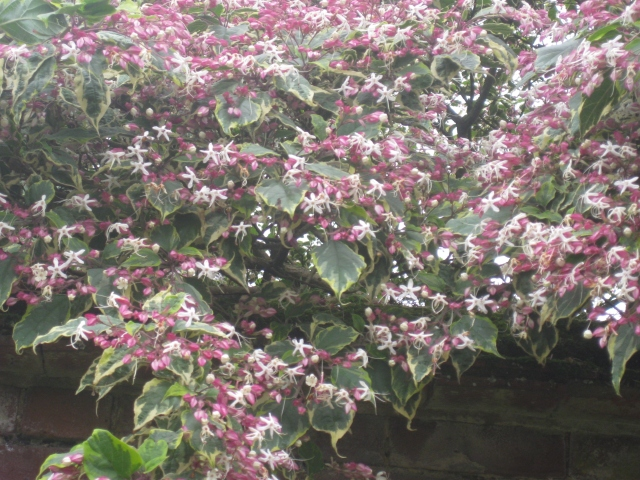 Clerodendron trichomomum 'Carnival'