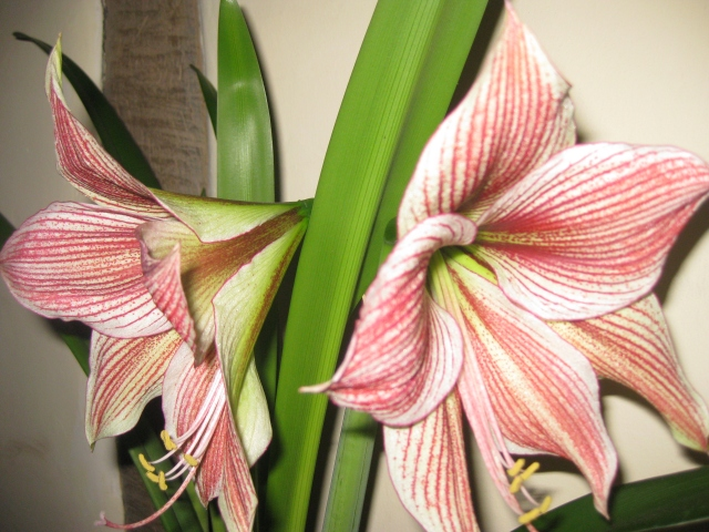 Hippeastrum, not Amaryliss