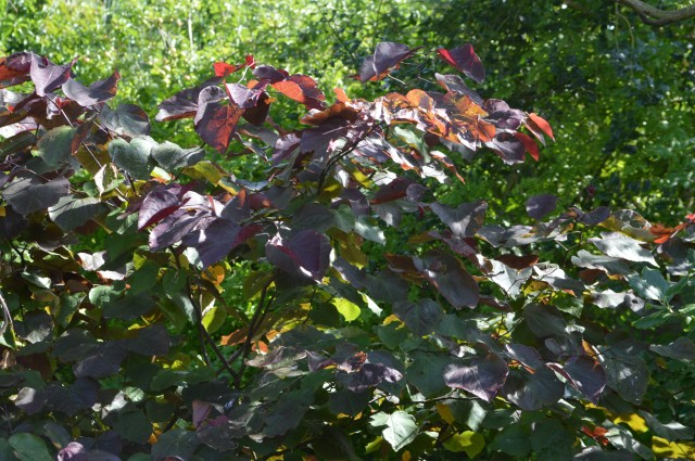 Cercis canadensis 'Forest Pansy.'