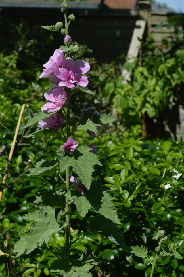 xAlcalthaea suffrutescens 'Park Rondell'