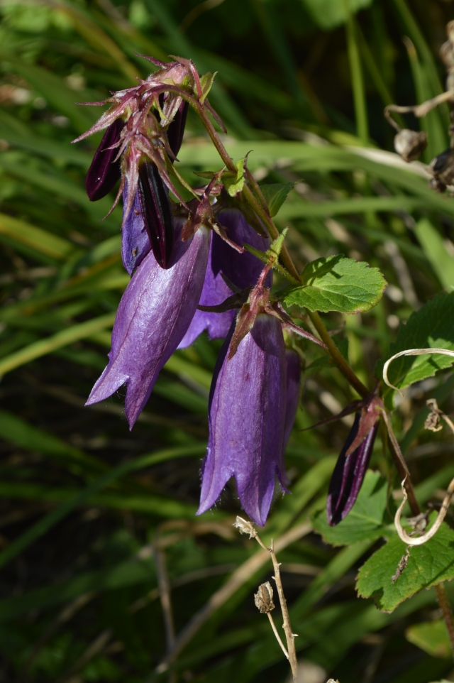 Campanula 'Purple Sensation'