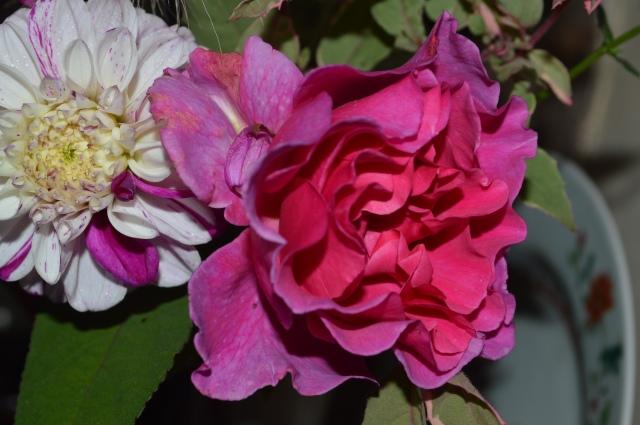 Rosa 'Princess Alexandre'