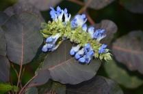 Salvia uligonosa
