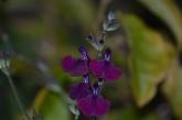 Salvia Nachtvlinden