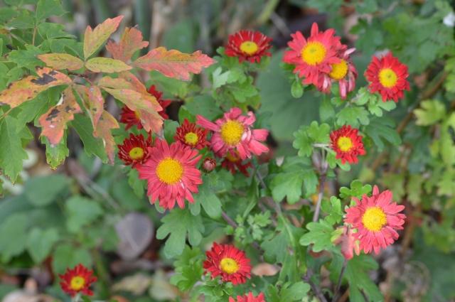 Chrysanthemum 'Belle'