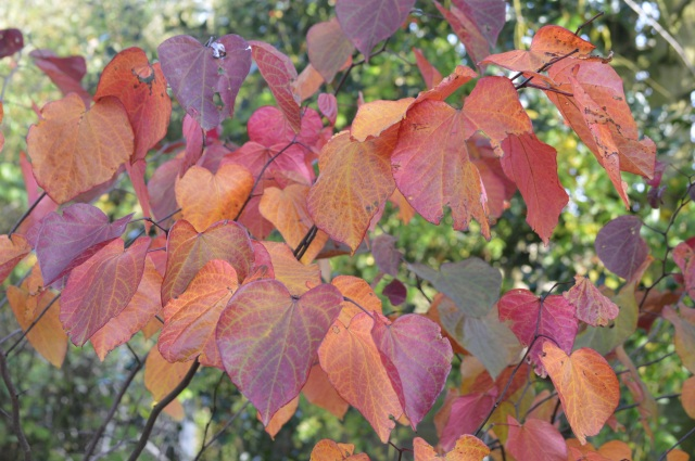 Cerdiciphyllum japonicum 'Forest Pansy