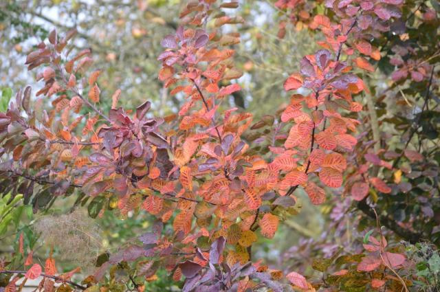 Cotinus coggyria 'Royal Purple'