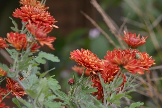 Chrysantemum 'Chelsea Physic Garden'