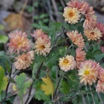 Chrysanthemum 'Bronze Elegance'