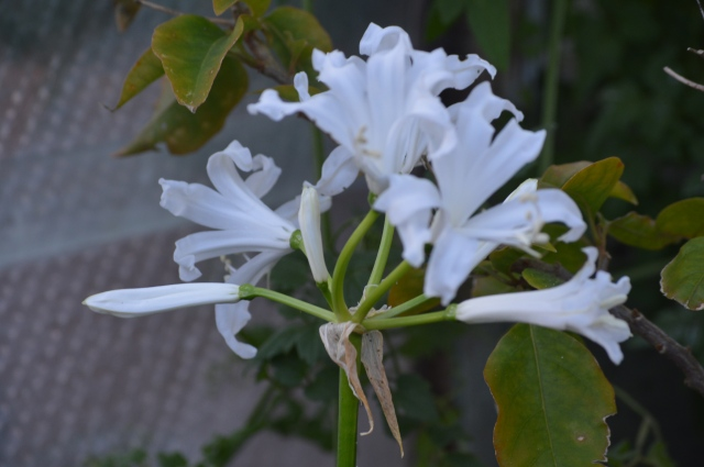 Nerine bowdenii 'Alba'