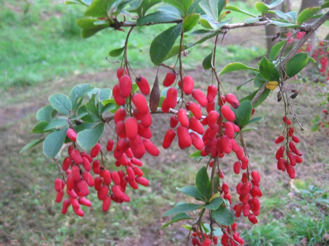 Berberis georgii