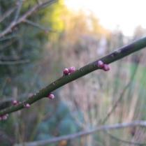 Prunus mume 'Beni-chidori