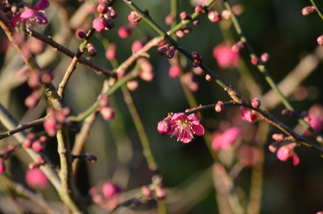 Prunus mume 'Beni-chi--dori