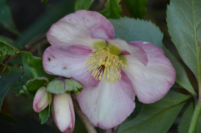 Helleborus x hybridus 'Madame Lemonnier'