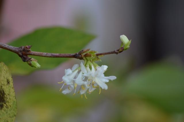 Lonicera x purpusii 'Winter Beauty'