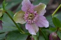 Anemone -flowered Helleborus