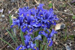 Iris 'Harmony'