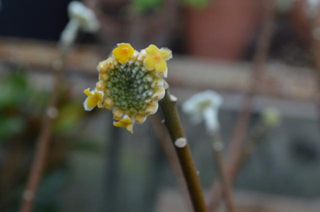 Edggeworthia chrysantha
