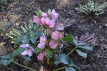 Helleborus X hybridus Madame Lemonnier'