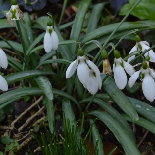 Galanthus 'Edinburgh Ketton'